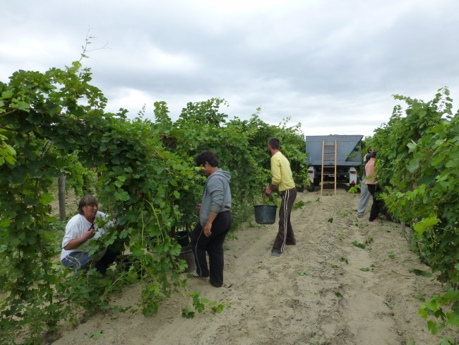 Day laborers in a Tázlár vineyard.